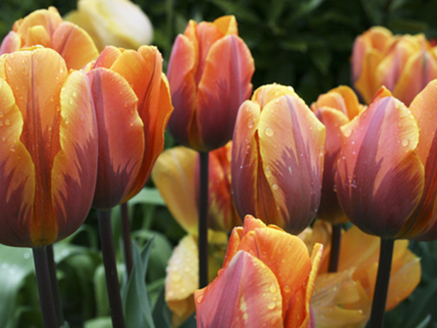 RX-DK-HTG03803_3-tulip-irene_s4x3_lg.jpg