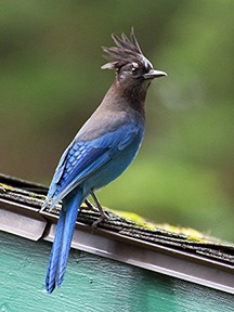 A Steller's Jay perches atop one of the Lodge's cabins.