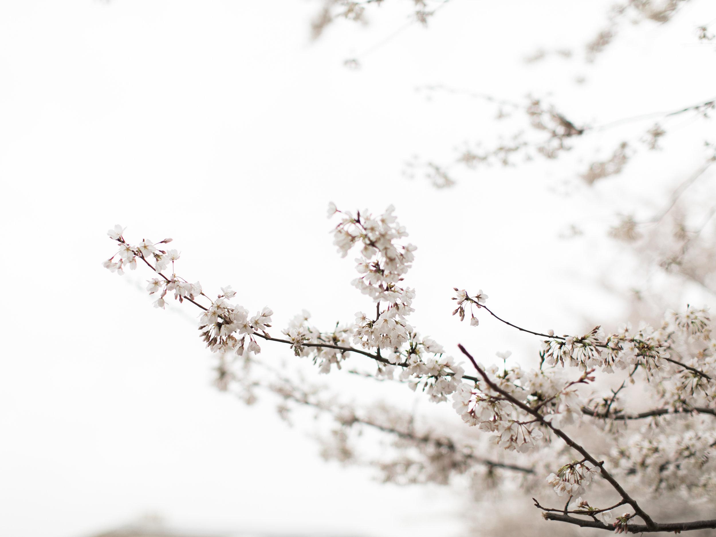 cherry-blossom-engagement-photos32.jpg