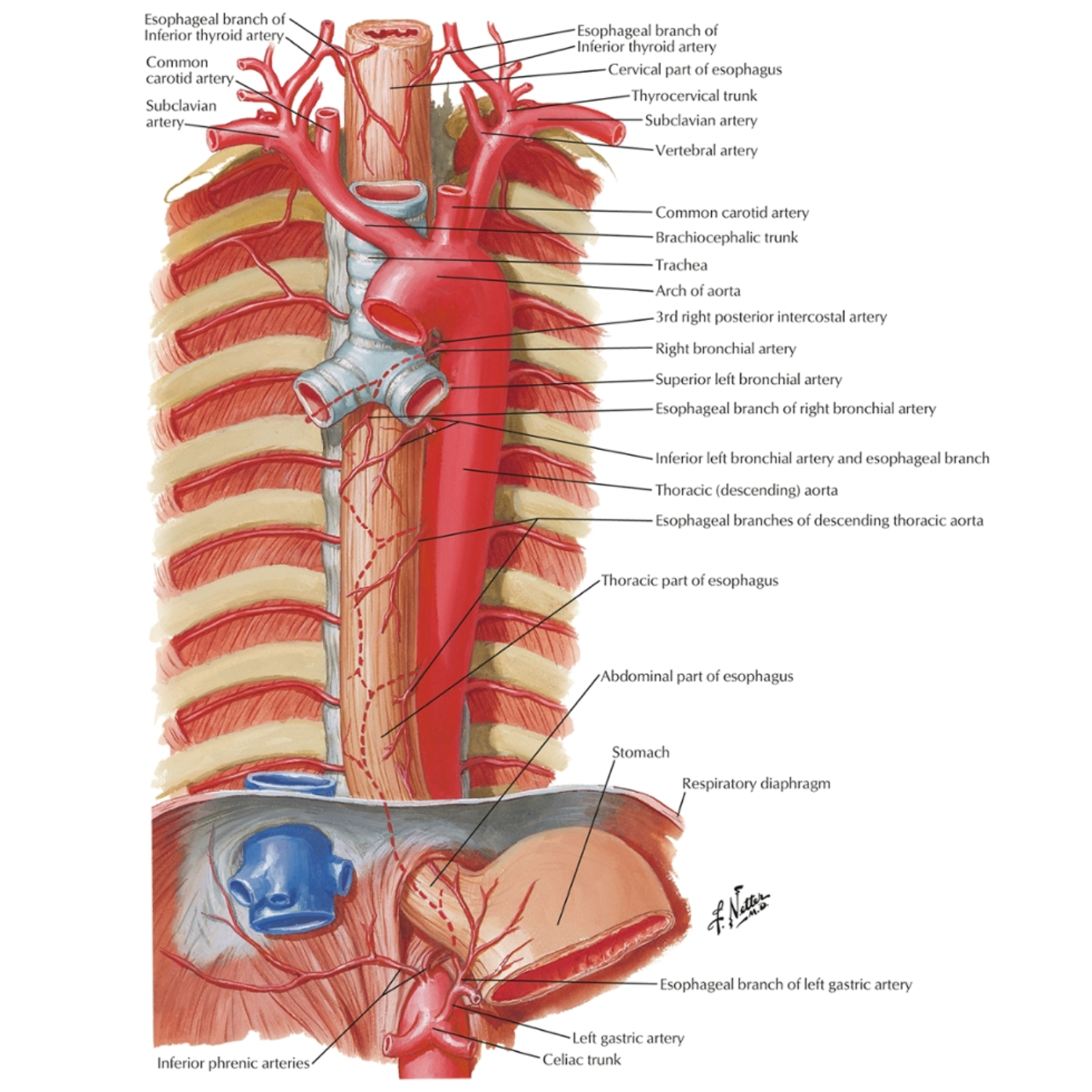 esophagusarteries.png
