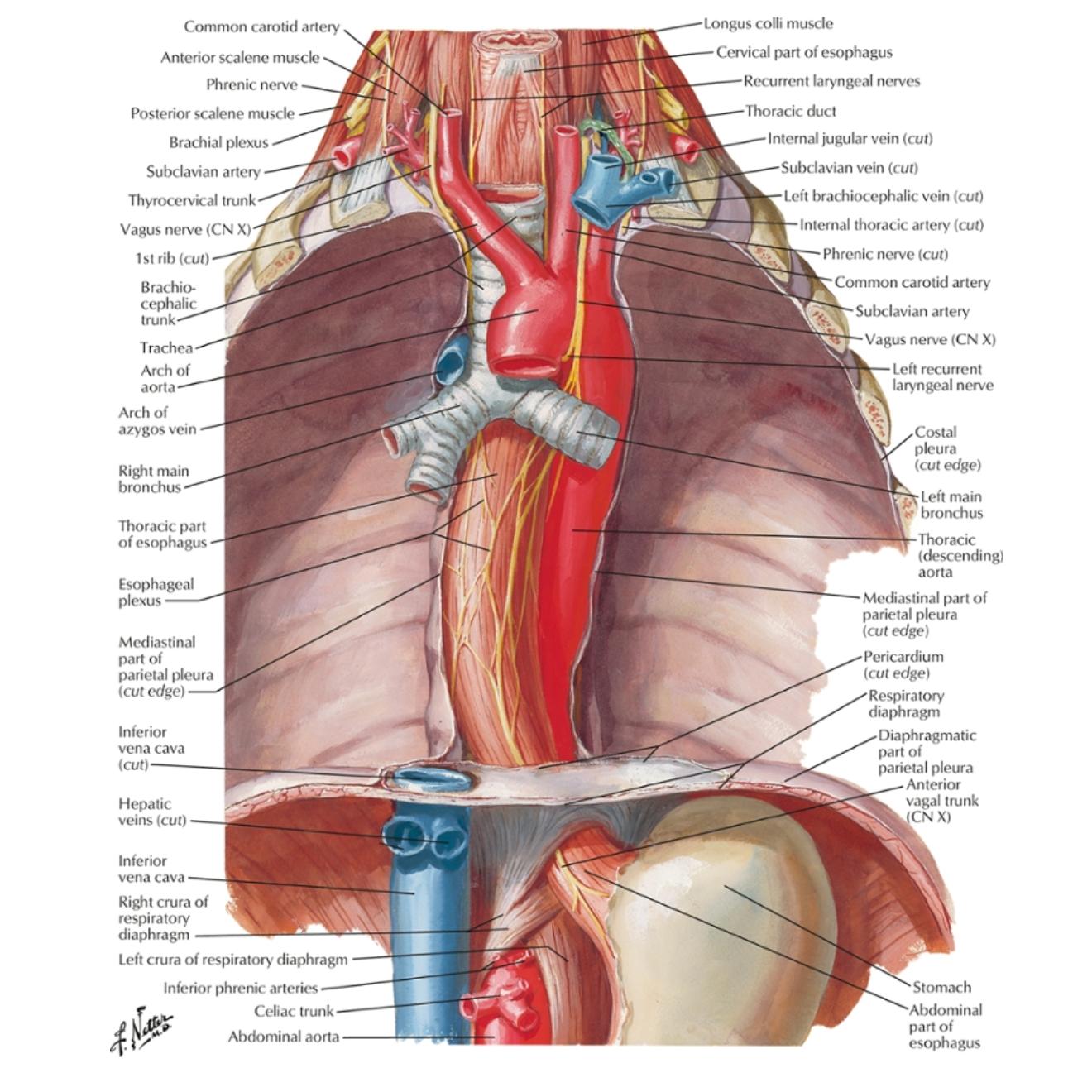esophagusdiaphragm.png