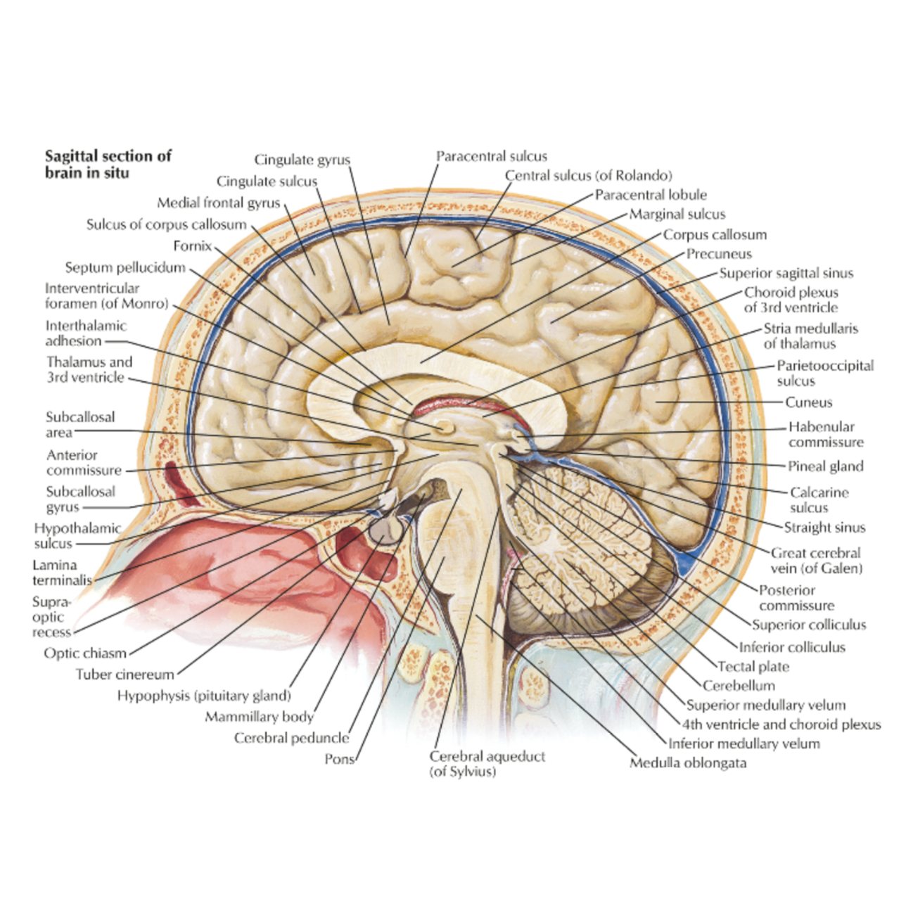 Spinal cord's position coming from the occipital bone