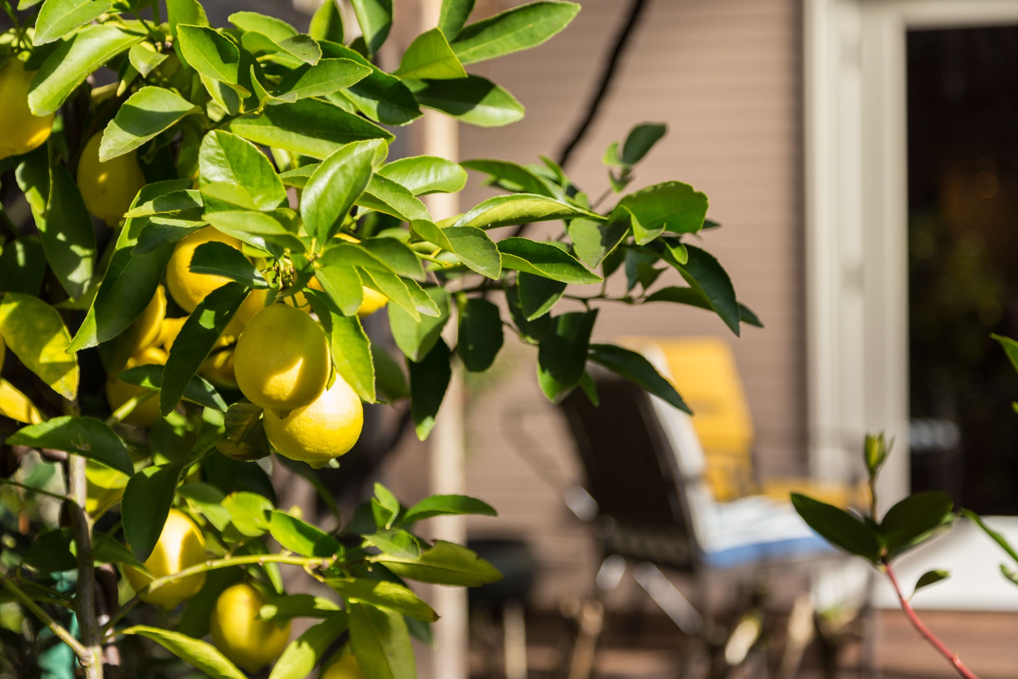 Pick your own lemons from the tree