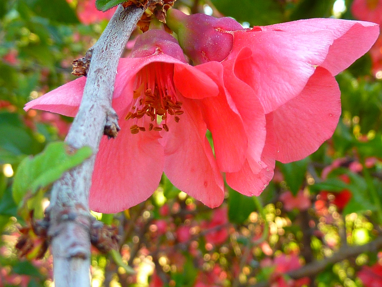 QUINCE BLOSSOM IN THE SPRING