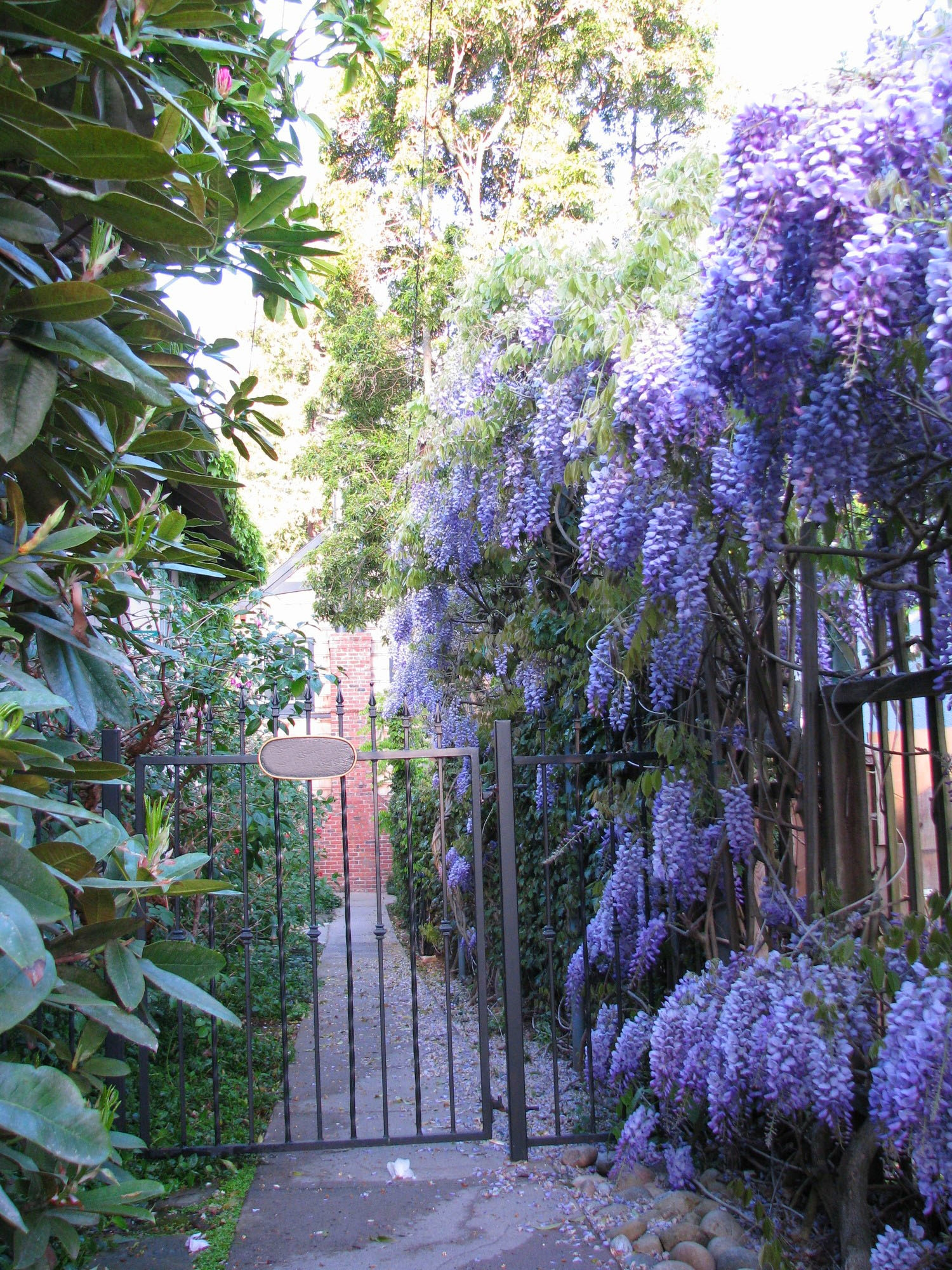 Blooming wisteria on a beautiful spring day