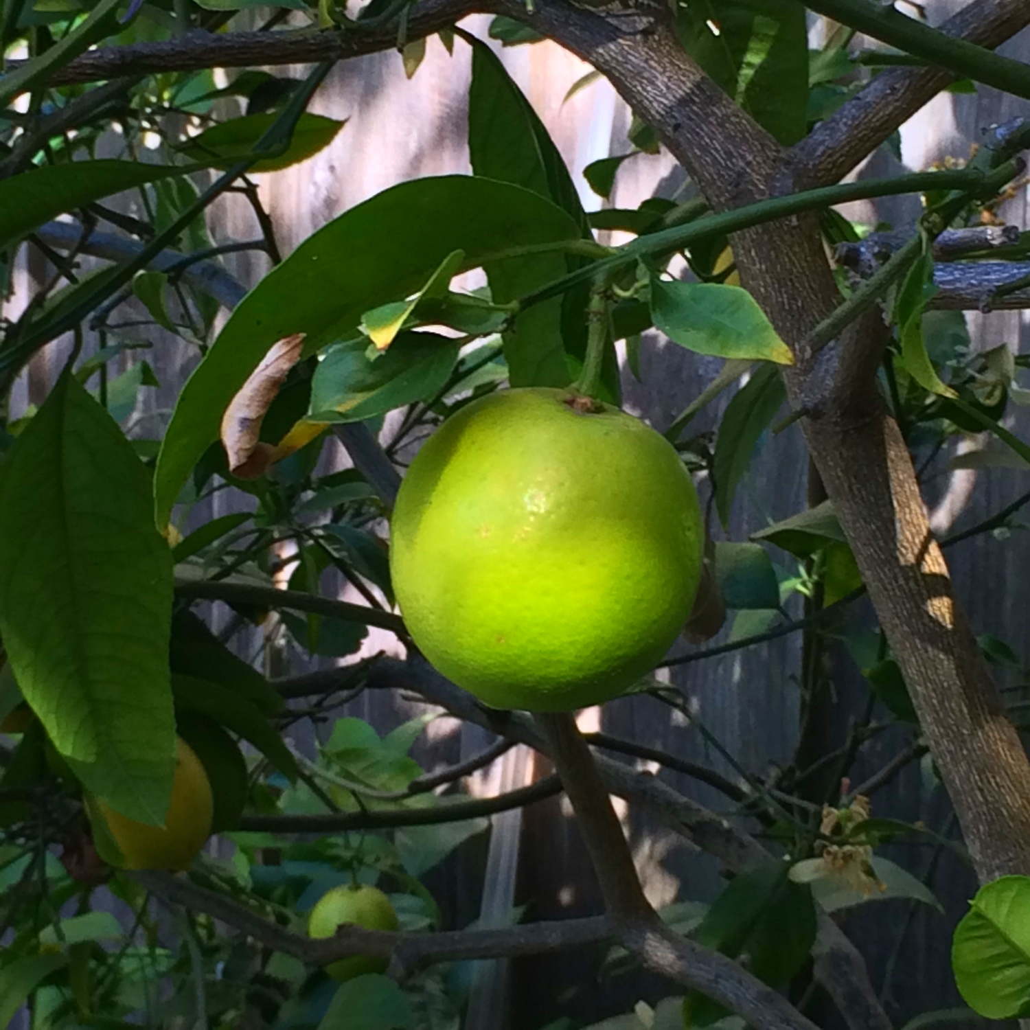 Ripening lime