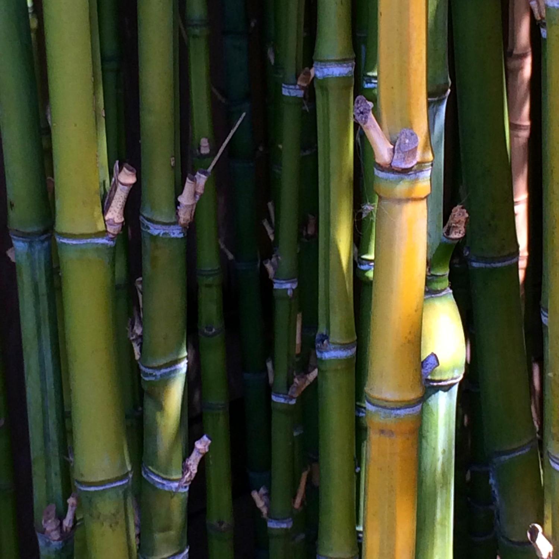 A bamboo grove in the garden