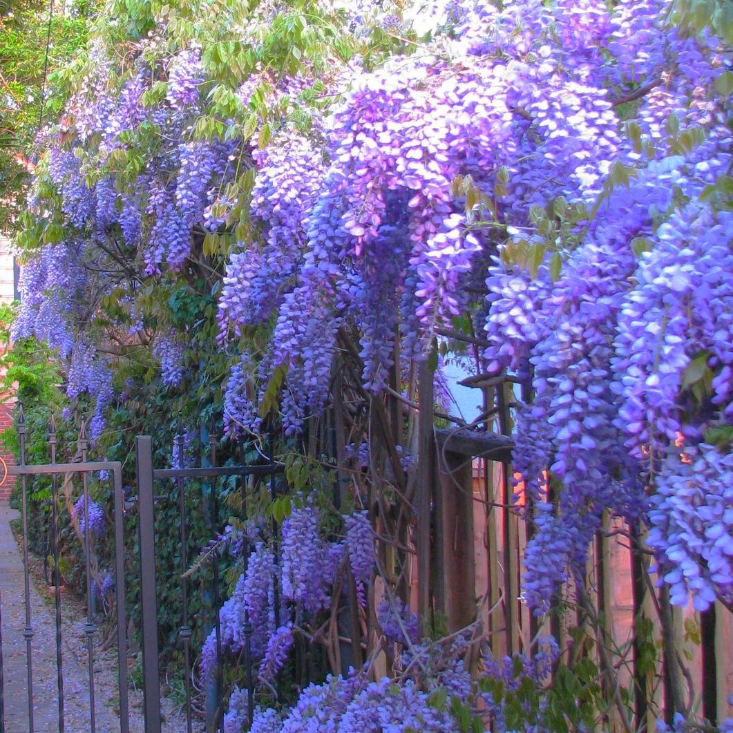 The wisteria gate