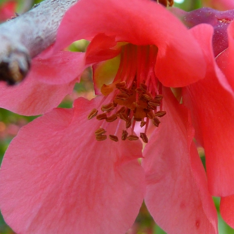 Quince blossoms add to the beauty
