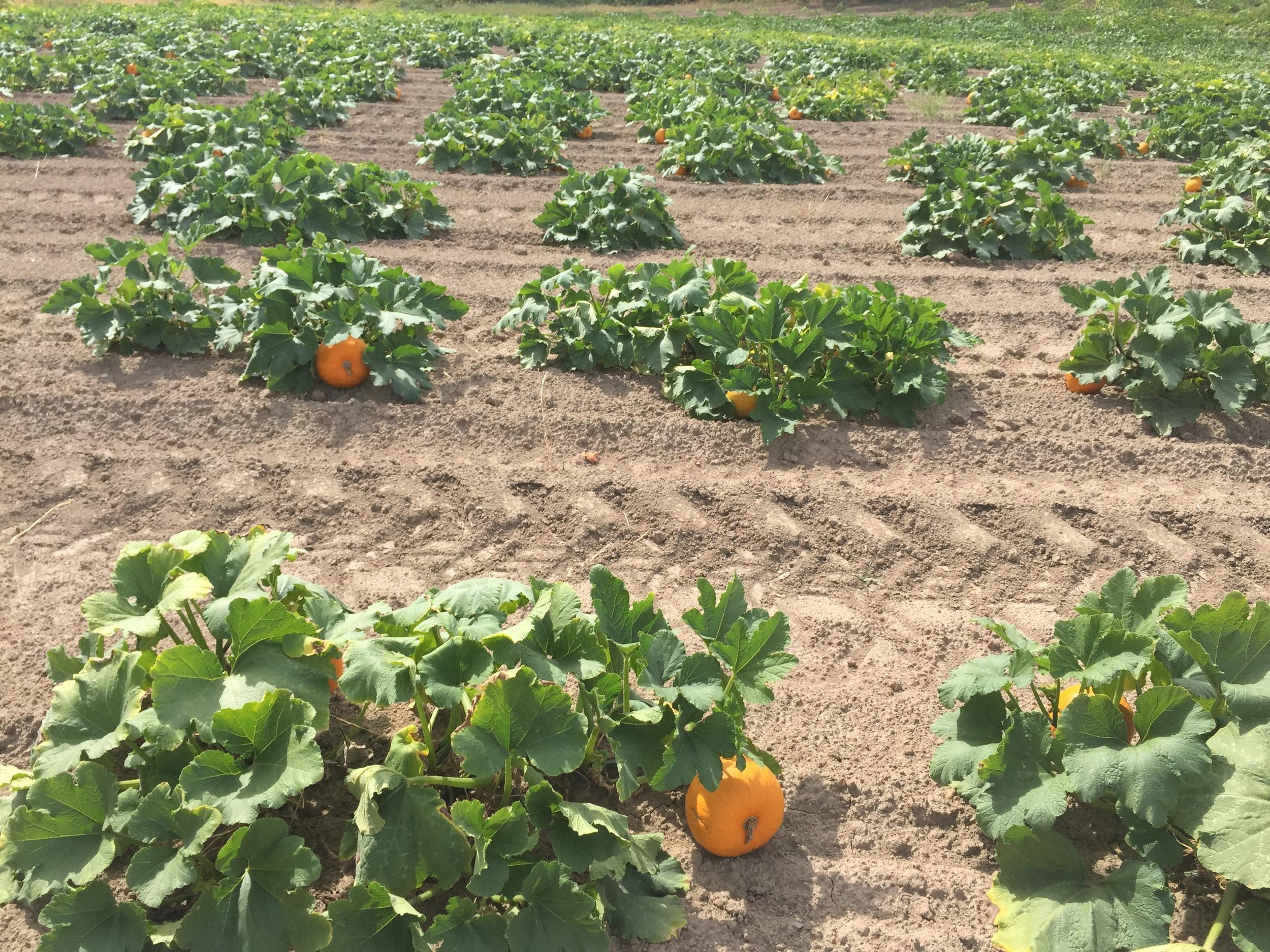 HOT-SKWASH-STEMS-FARM-ORANGE-IMG_9183.JPG