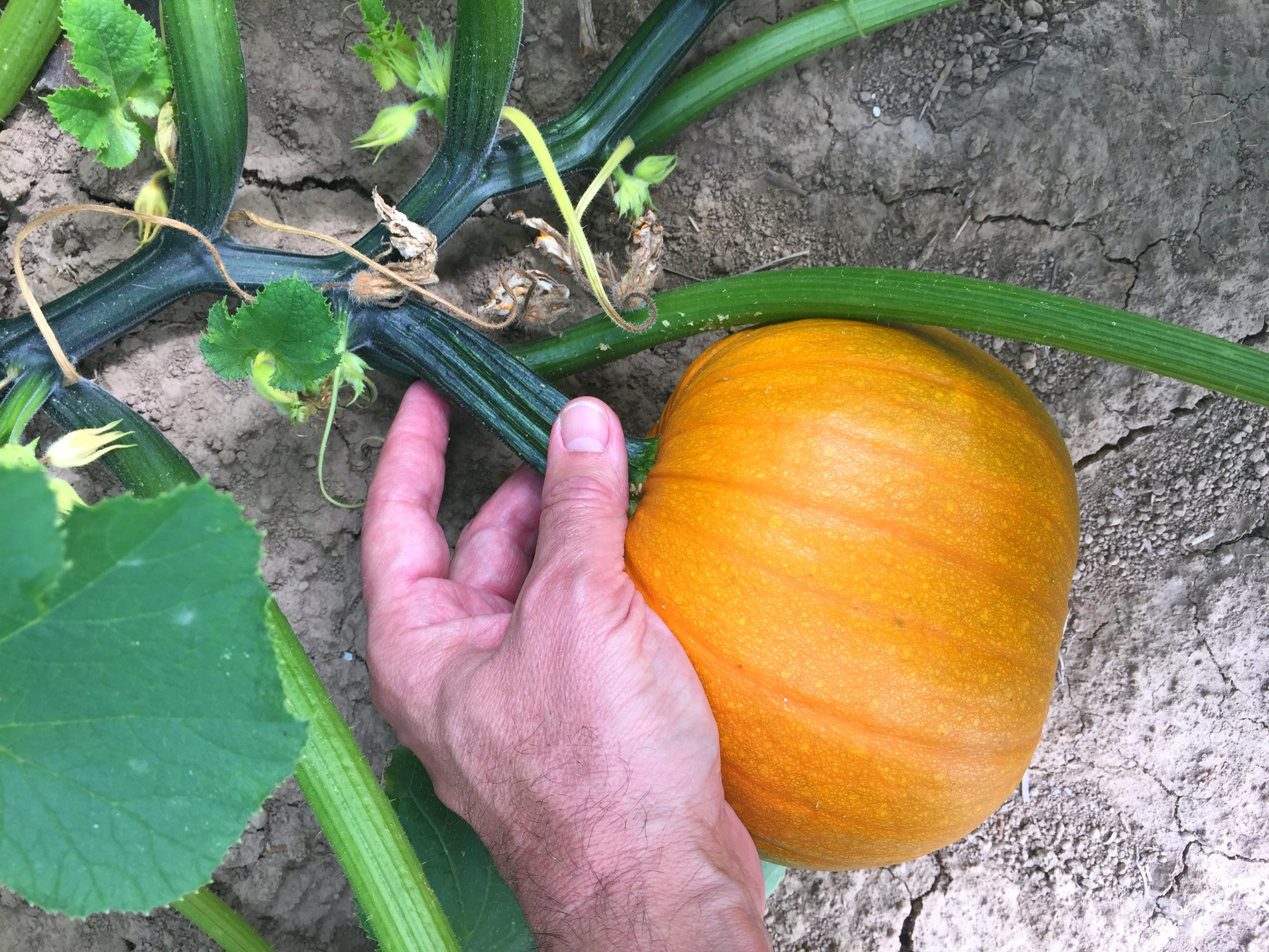 HOT-SKWASH-STEMS-FARM-HAND-IMG_9211.JPG
