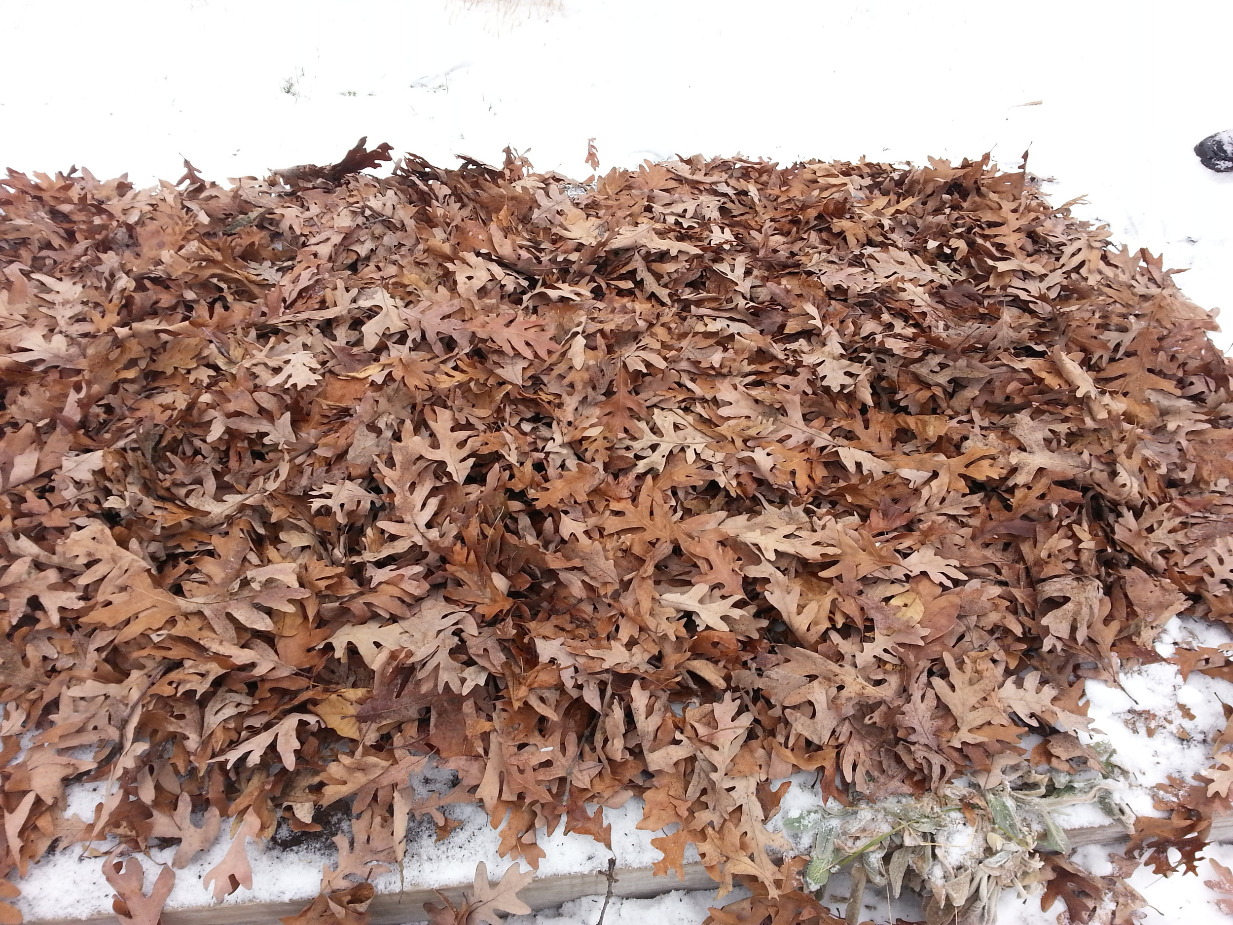 We probably should have laid these leaves down in October or November but we didn't get around to it until late in December. We'll see what happens in the spring?
