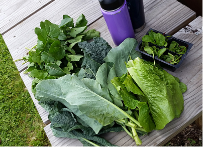 """Greens freshly picked from our """"Fit Farm""""! Left to right: Arugula, kale and collards, lettuce, beet greens."""