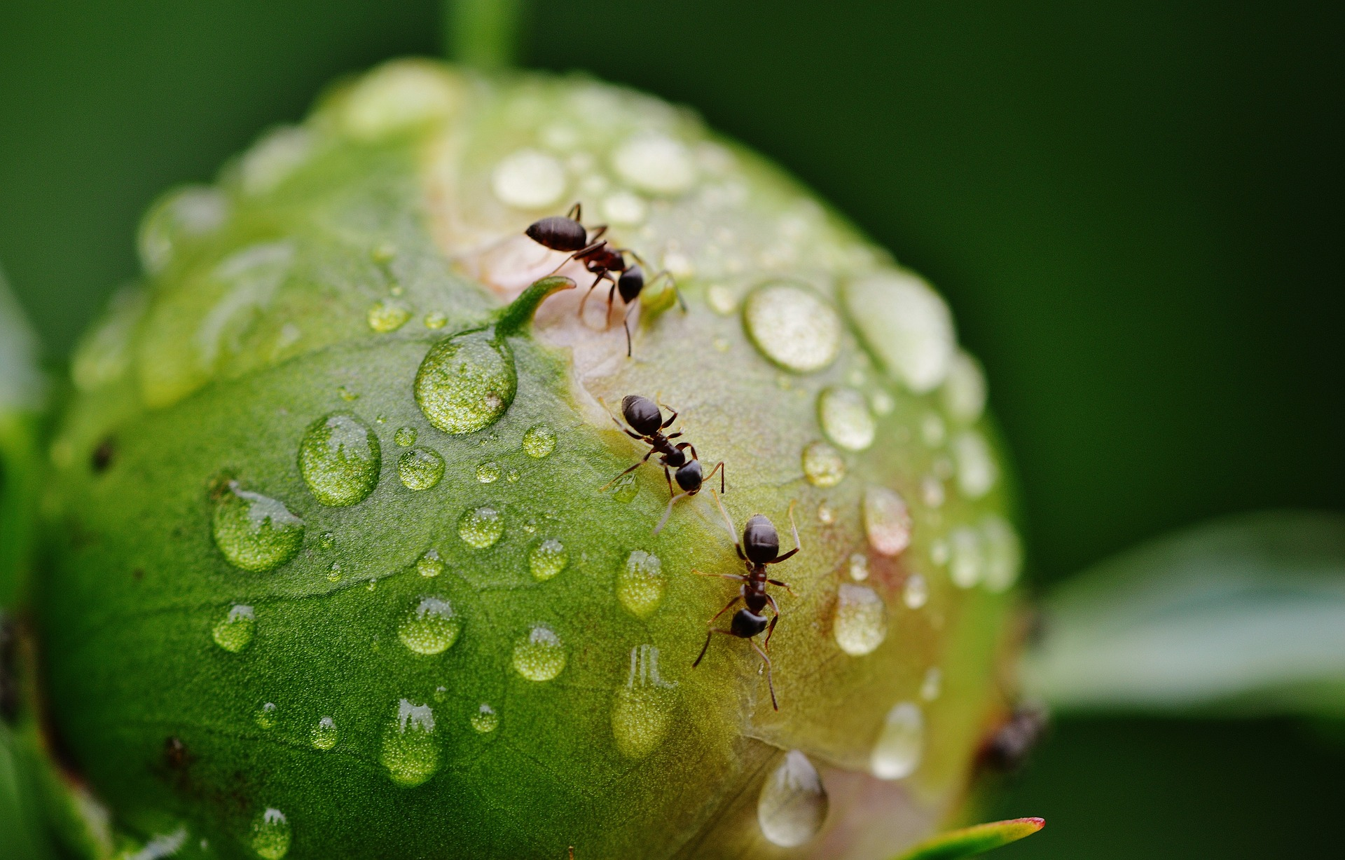 Ants will not cause any harm to peony blooms