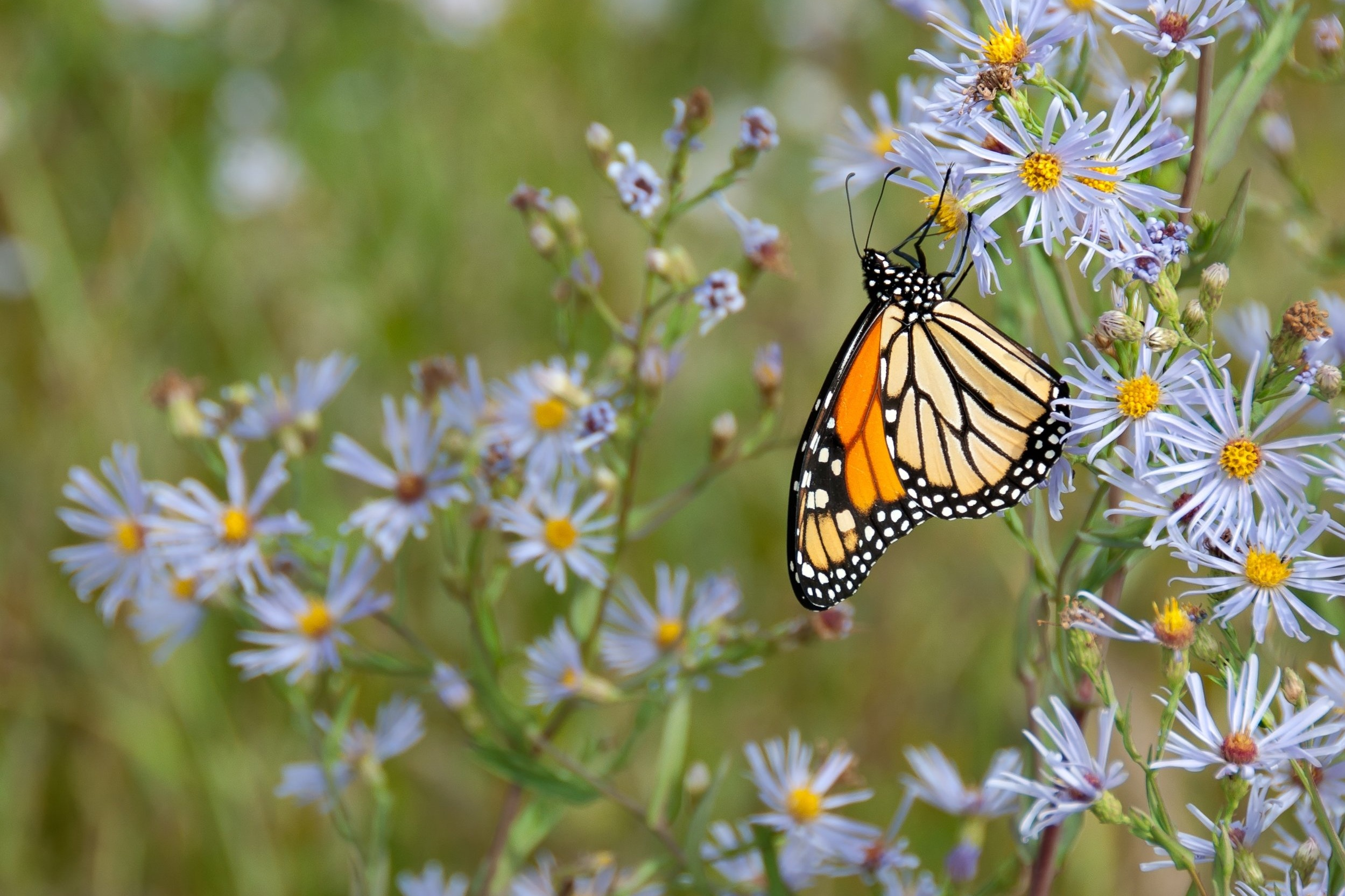 Monarch butterfly on aster flowers