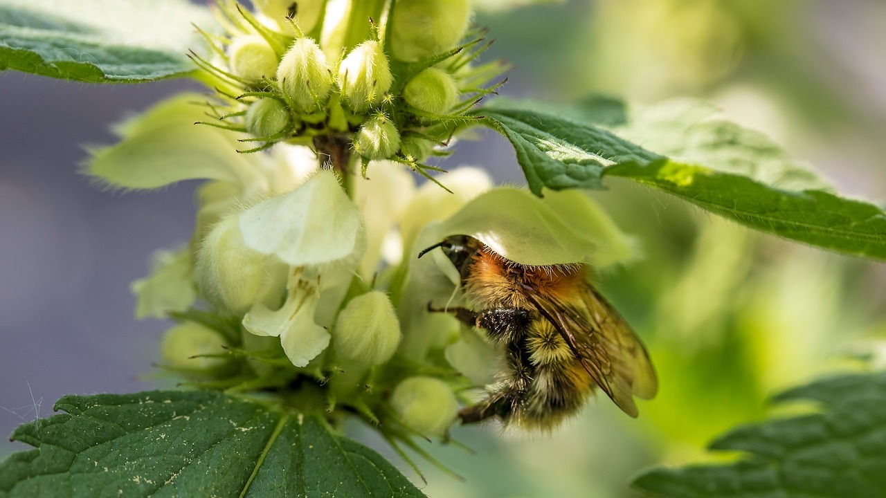 Bumblebee gathering pollen. Photo by Myriam Zilles
