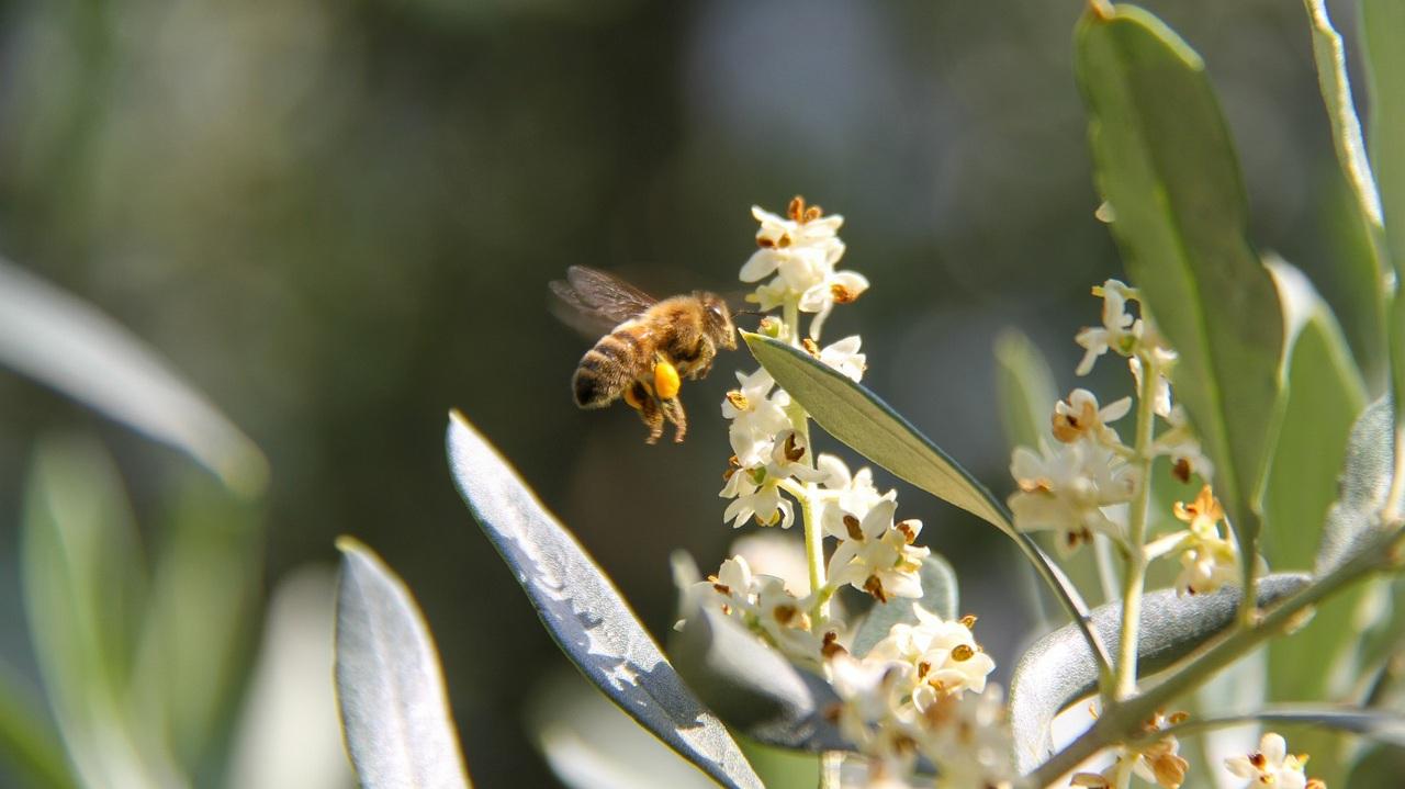 Honeybee gathering pollen.