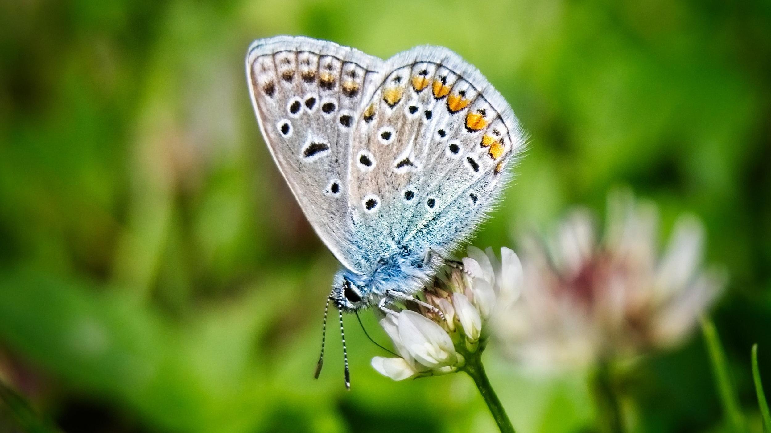 Karner Blue butterfly on clover