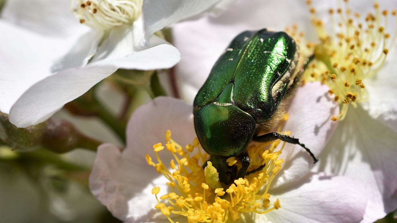 Figeater beetle on rose blossom