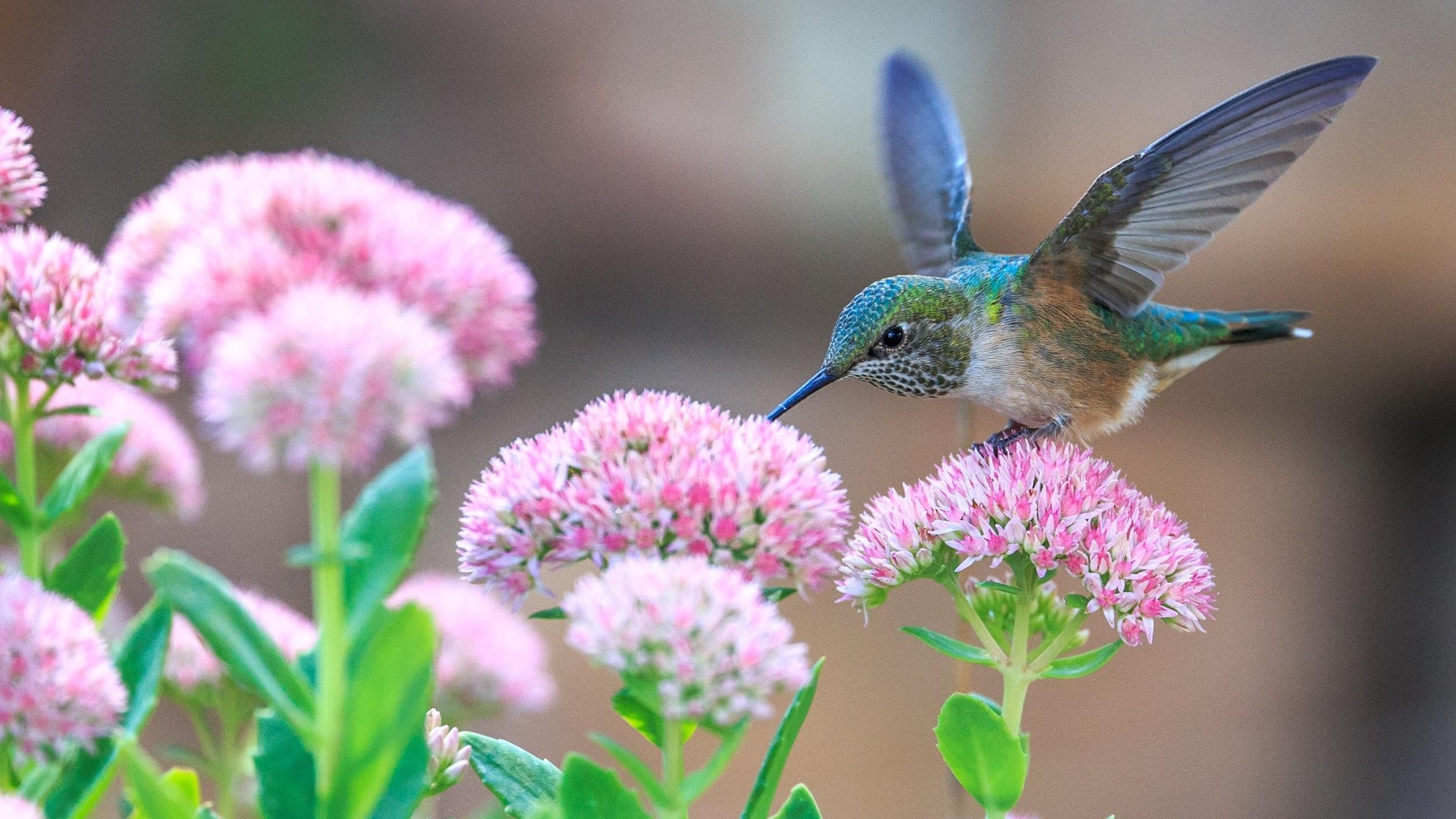 Hummingbird on sedum