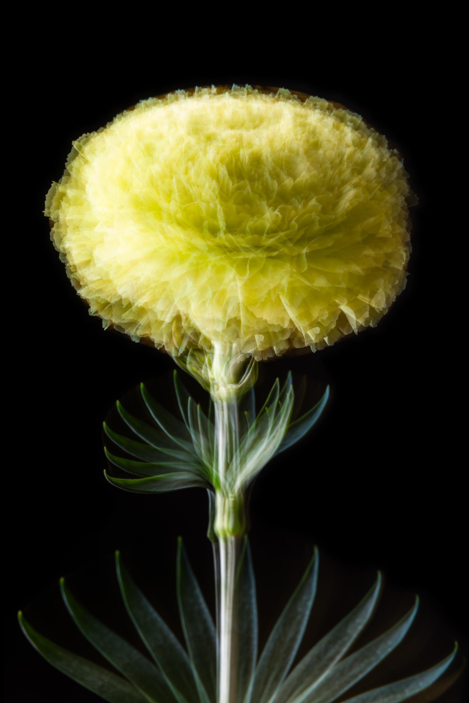 Dianthus flavus