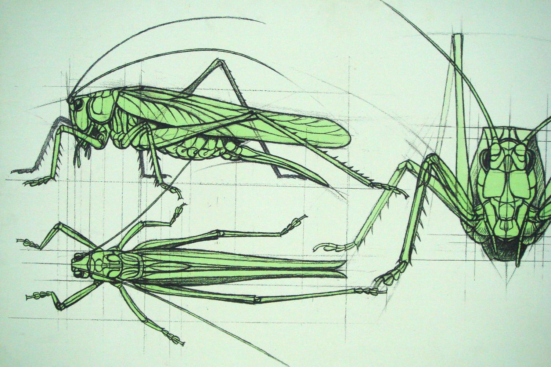 Grosses Heupferd, Skizze,jörg rohner, 2009