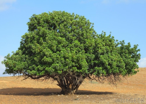 African locust bean tree ( Parkia biglobosa )
