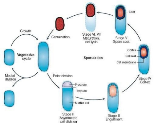 The life of  B. subtilis  alternates between cycles of active (vegetative) growth and sporulation/dormancy followed by re-entry into active growth. Spores shown here in red (5).
