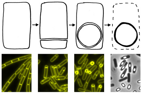 Great cartoon/microscopy images of how Bacillus subtilis undergoes the process of  sporulation, transitioning from a normally growing bacterial cell (left) through stages of creating a small separate intracellular compartment (second from left) which then becomes engulfed inside the larger cell (third from left), eventually maturing and being released from the dead cell (right) as a dormant and highly indestructible SPORE.  Image by David Rudner, HMS (1)