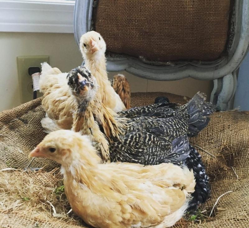chicks_in_chair.jpeg