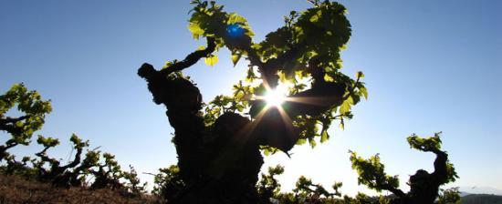 Old vine Mencia in Bierzo, Spain