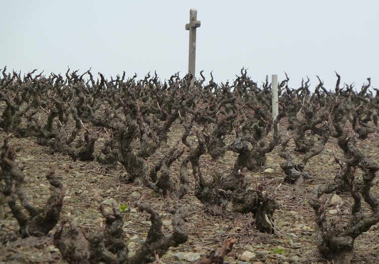 Old vines in the Cote de Py