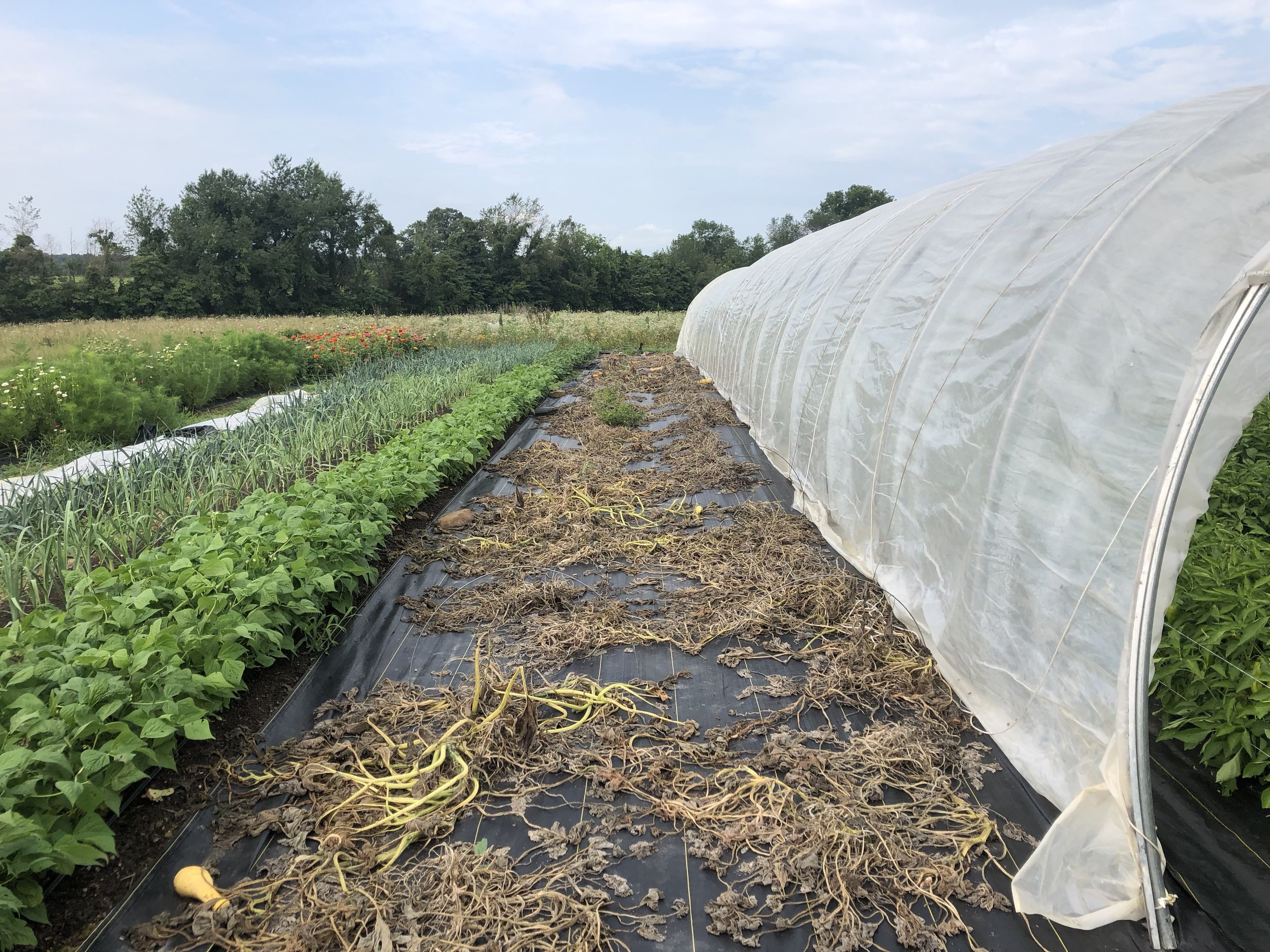 Our first planting of squash, finally decimated from the rain. Our second planting is coming on just in time