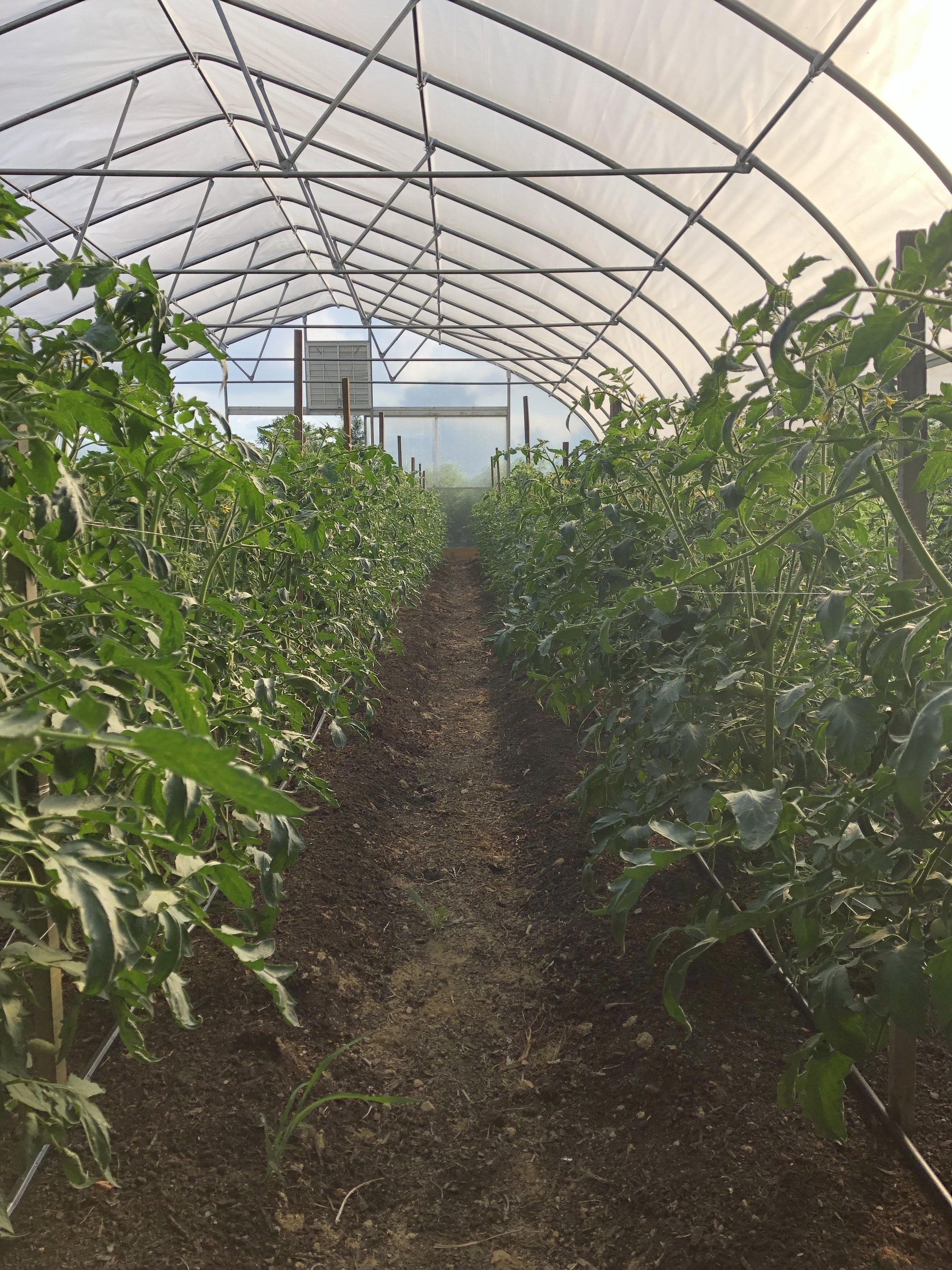 Tunnel tomatoes, stake and weave, and filling out. Should be ready by late September.