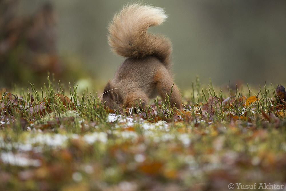 Digging Squirrel.jpg