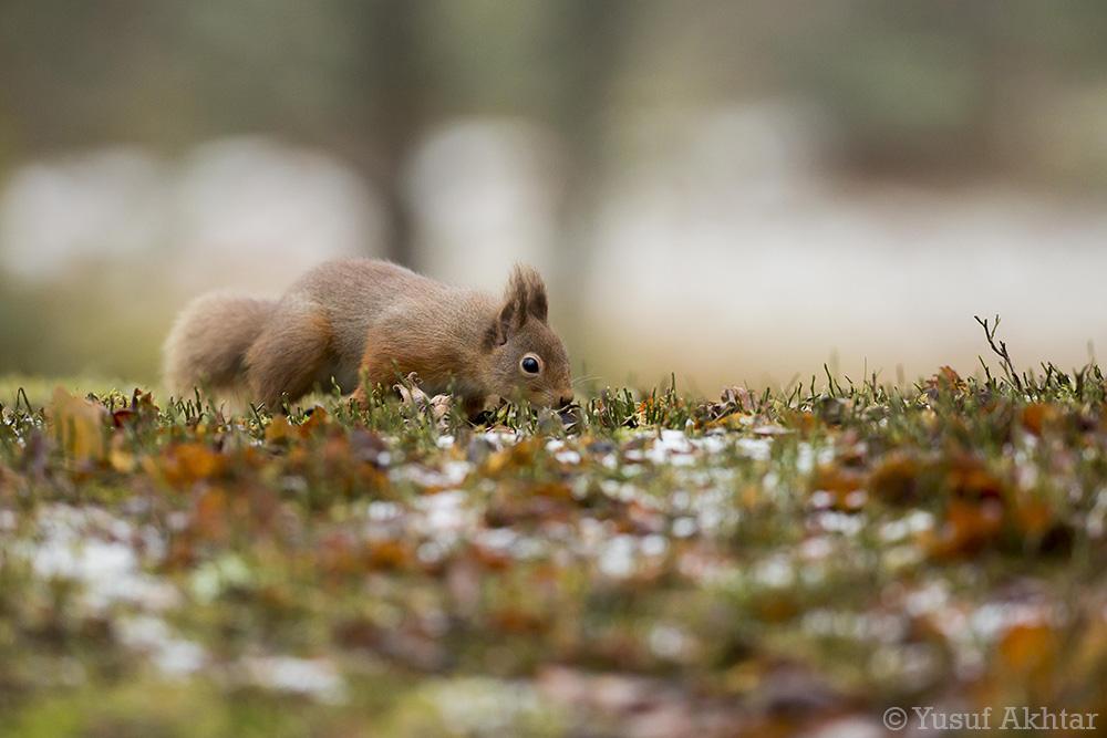 Foraging Squirrel.jpg