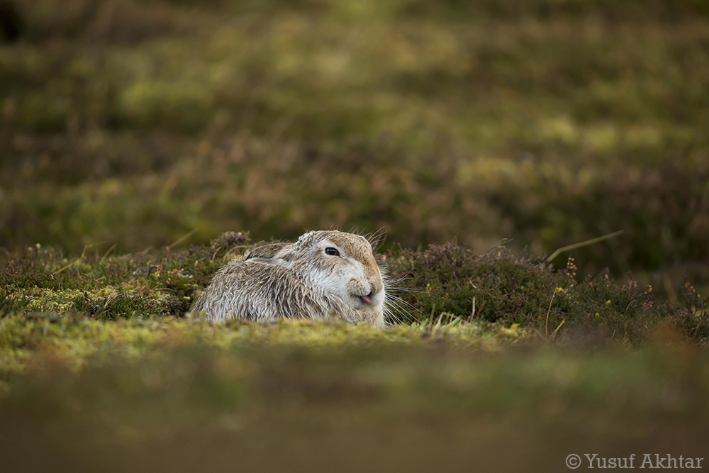 Hare Tounge.jpg