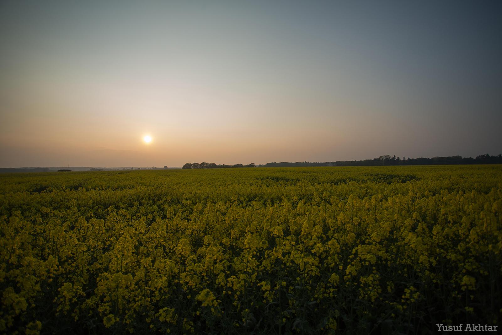 Rapeseed Sunset.jpg