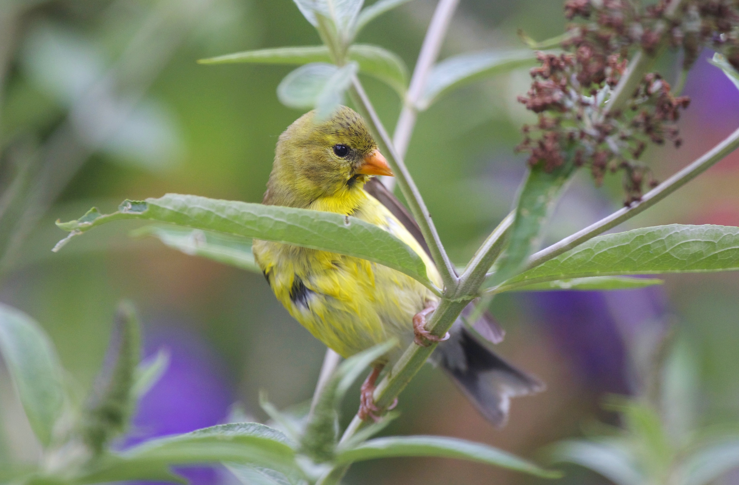 Female Goldfinch preening after her bath. Photo taken from my office window.