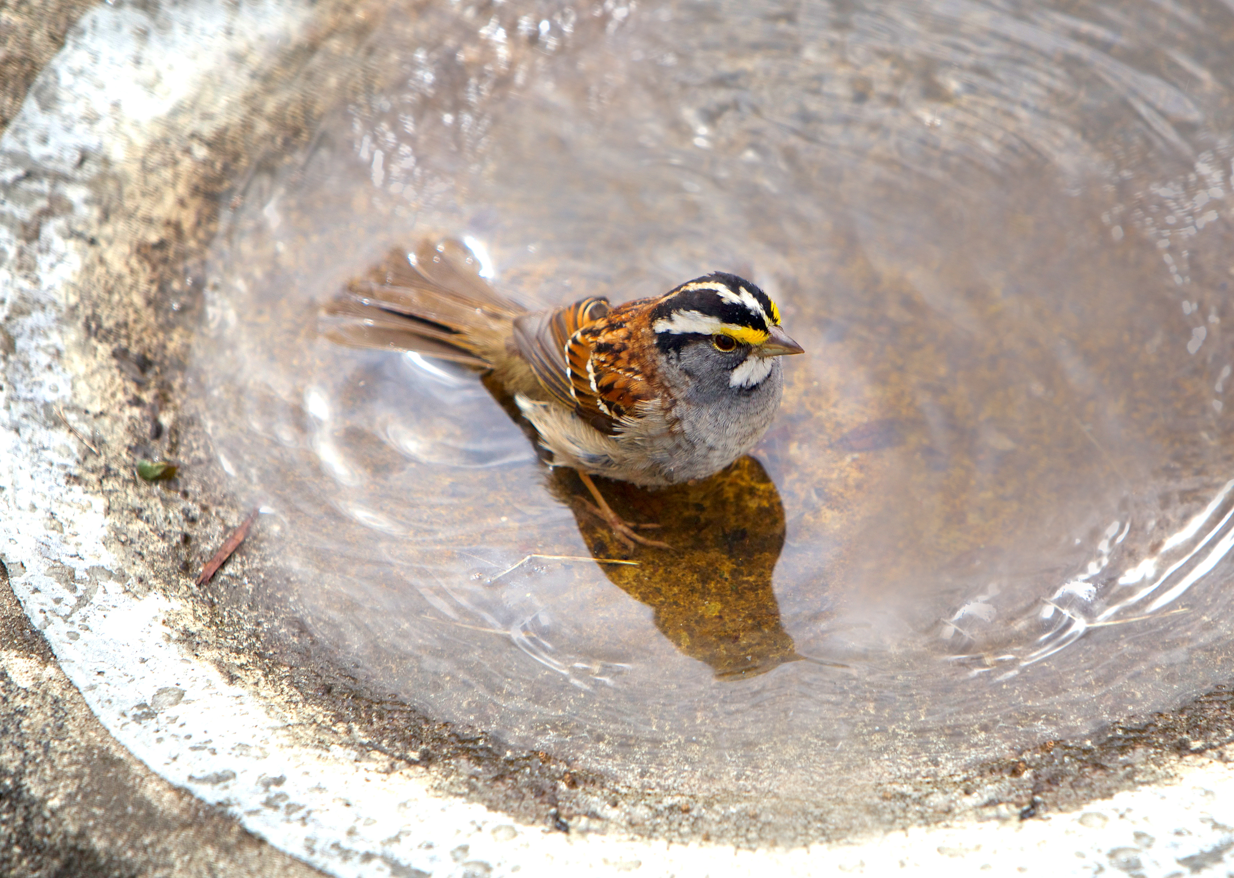Sweet White-throated Sparrow on a cold spring day. If you look closely, His shadow resembles a hummingbird.