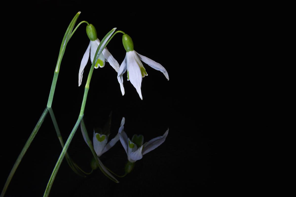201503  two snowdrops in mirror 6927 sh sRGB.jpg