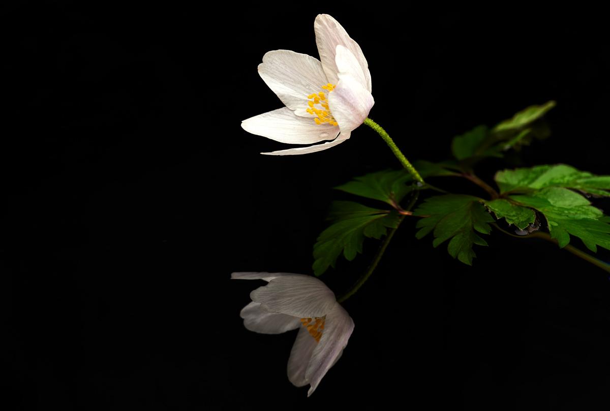 201504  mirror windflower white n 8043 sh sRGB.jpg