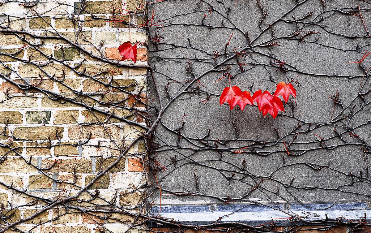 201110  five red leafs 3083 rz sh sRGB.jpg