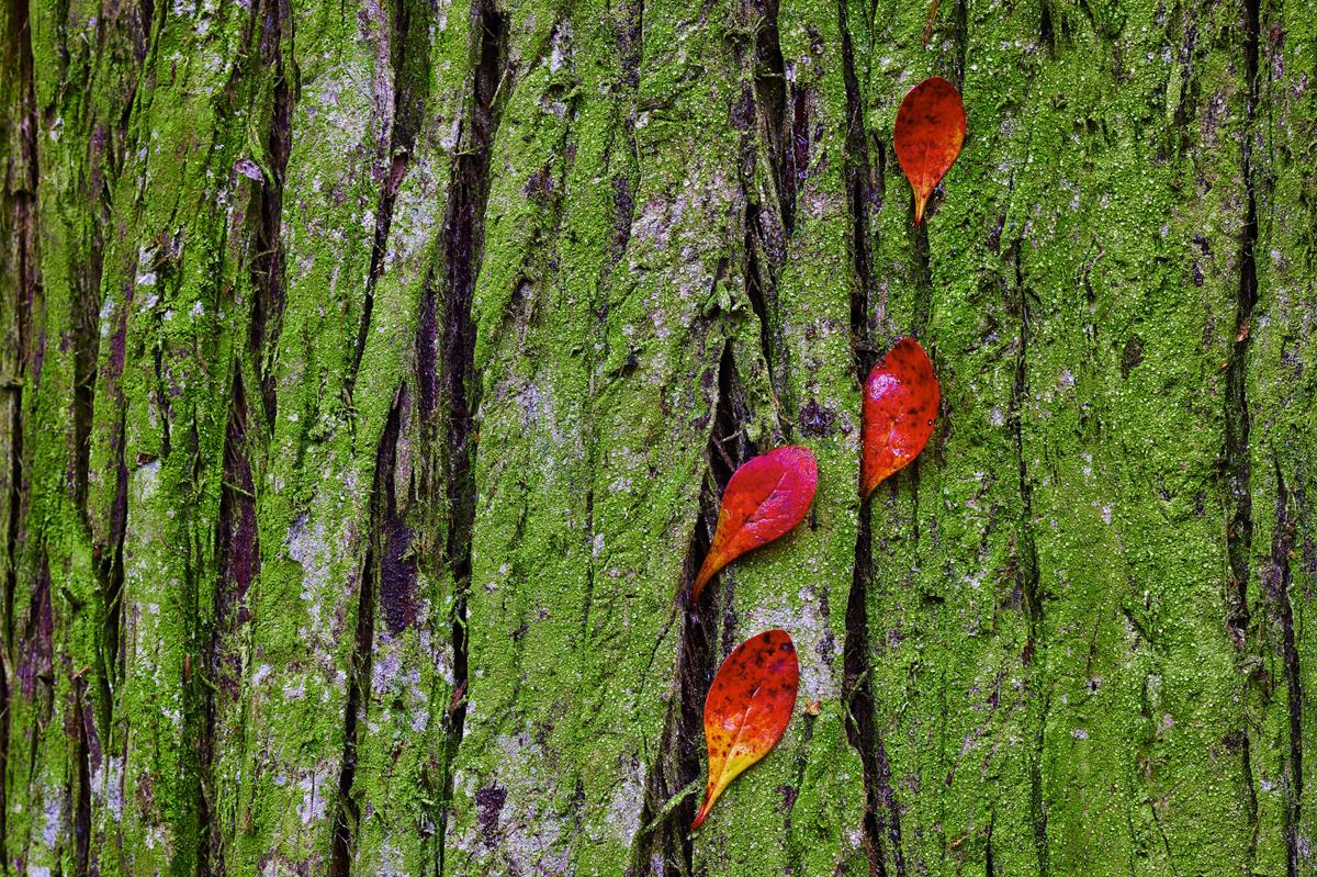 201411  colored leafs at green tree 3752 sh sRGB.jpg