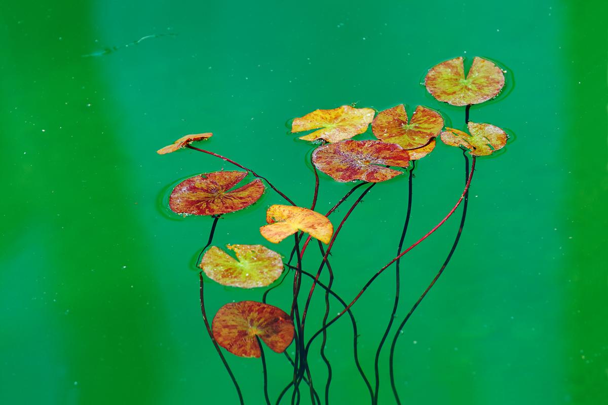 201507  waterroses leafs 6408 sh sRGB.jpg