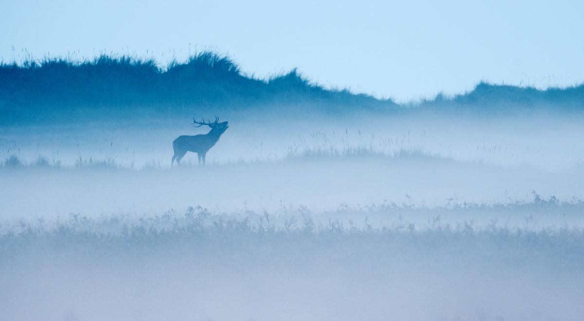 201010  red deer bellow in misty morning 1155 rrz sh sRGB.jpg