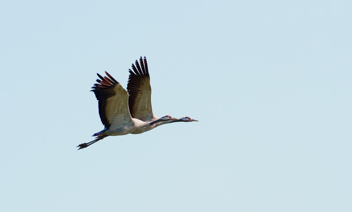201210  crane pair without 4950 sh sRGB.jpg