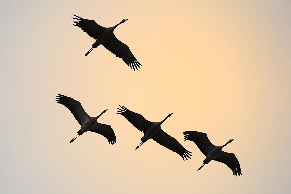 201210  four cranes n 7343 sh sRGB.jpg