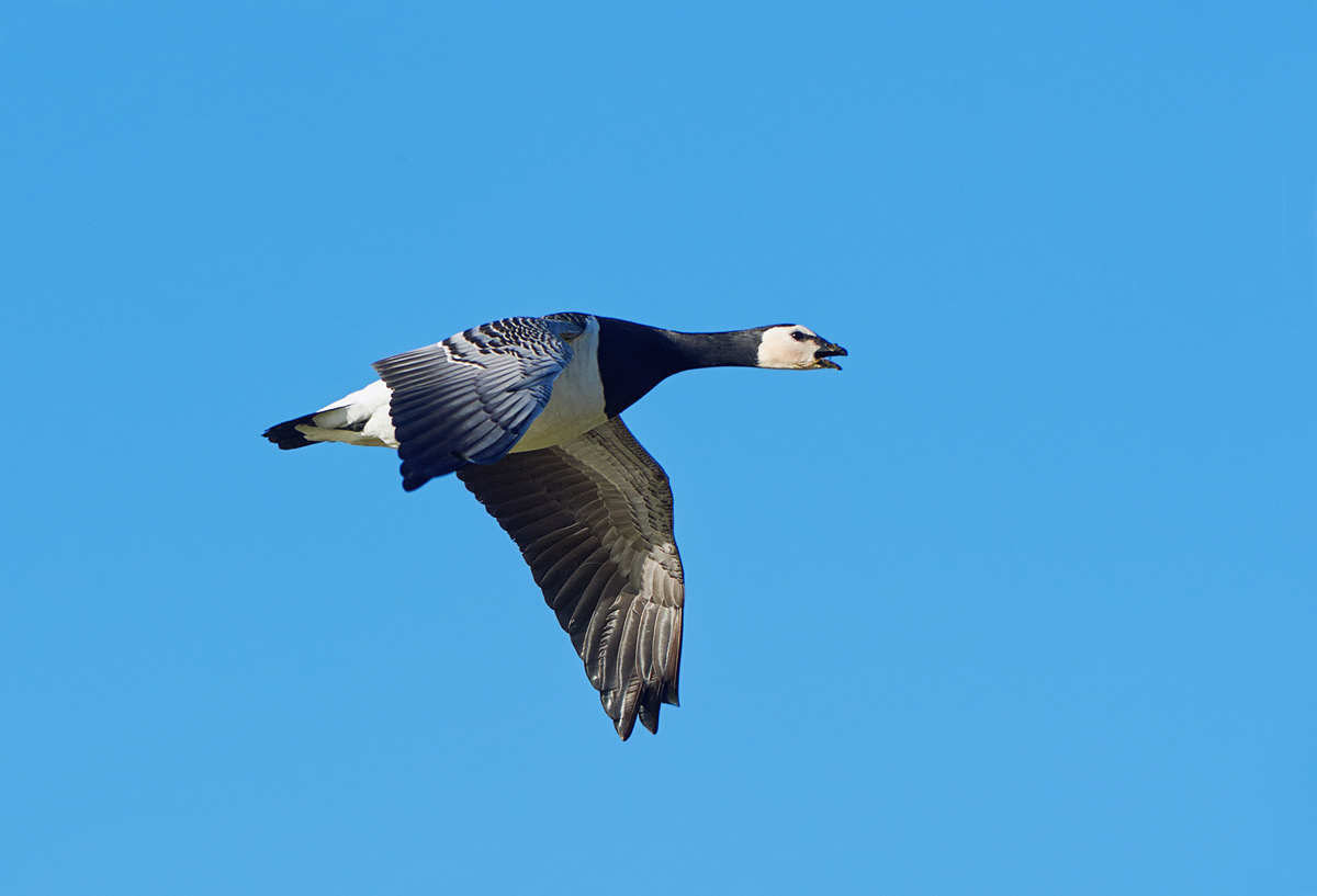 201302  nun goose crying n 1206 sh sRGB.jpg
