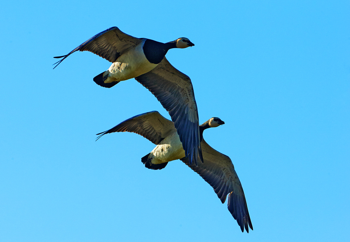 201302  nun goose pair 1484 sh sRGB.jpg